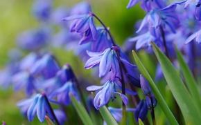 Wallpaper primrose, spring, blue