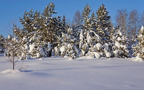Picture winter, forest, snow, trees, nature, frost, pine