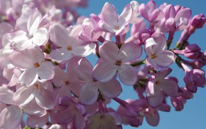 Picture the sky, macro, joy, mood, beauty, branch, may, lilac, inflorescence, the color purple, shrubs, ornamental …
