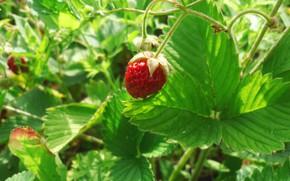 Picture macro, strawberries, berry