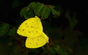 Picture macro, butterfly, yellow
