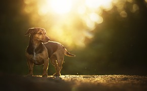Picture glare, dog, bokeh