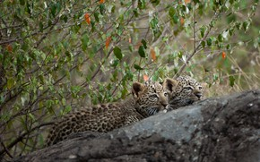 Picture branches, tree, stone, kittens, a couple, leopards, cubs
