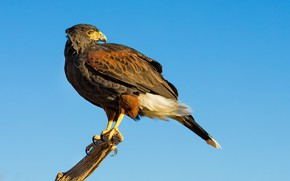 Picture bird, predator, beak, hawk, desert Buzzard