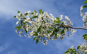 Picture the sky, flowers, cherry, branch, spring 2018, Meduzanol ©