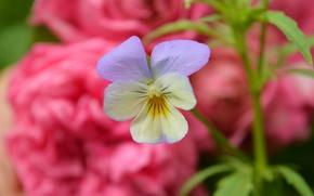 Wallpaper Viola tricolor, Spring, Bokeh, Flower, Spring, Flower, Bokeh