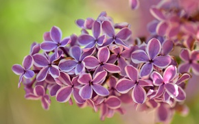 Picture macro, bunch, lilac, inflorescence
