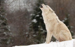 Picture winter, forest, white, snow, branches, nature, wolf, spruce, ate, howl, sitting, howling, Arctic, polar, Arctic …