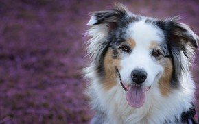Picture language, face, glade, portrait, dog, Australian shepherd, Aussie