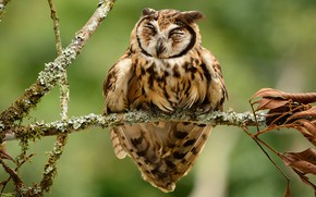 Picture birds, owl, branch, striped owl