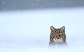 Picture winter, snow, face, Wild cat, Wildcat