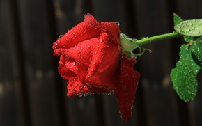 Picture flower, water, drops, Rosa, rose, petals, Bud