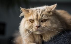 Picture cat, cat, look, muzzle, British longhair cat