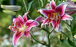 Picture motley, petals, Lily
