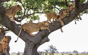 Picture tree, stay, lioness, pride