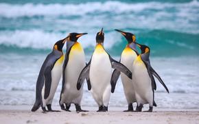 Wallpaper sea, pack, the ocean, Royal penguins, beach