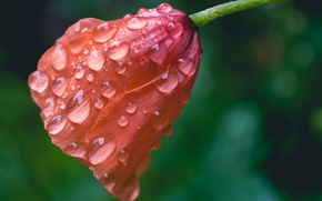 Picture flower, drops, macro, Mac