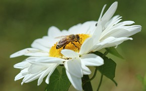 Picture Macro, Flower, Daisy, Flower, Insect, Macro, Wasp, OSA