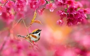 Picture flowers, branches, nature, bird, spring, Sakura, flowering