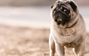 Picture look, background, dog, pug