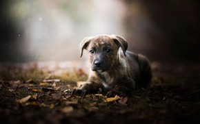 Picture autumn, leaves, puppy, bokeh, doggie