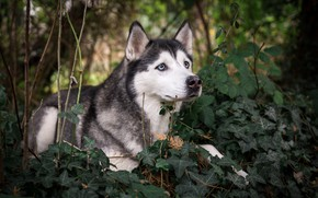 Picture greens, dog, husky, breed