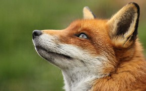 Wallpaper ears, muzzle, Fox, Fox