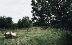 Picture grass, green, tree, sheep, nature .
