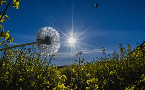 Picture the sky, the sun, rays, flowers, dandelion
