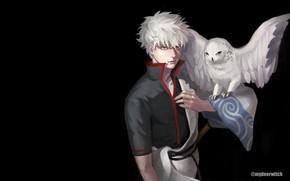 Picture owl, anime, guy, Gintama, Sakata Gintoki, Gintama