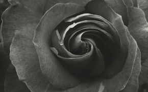 Picture Rose, Garden, Rosa, Petals, Belarus, Layers, Black and white