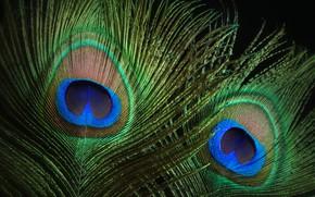 Picture macro, pen, peacock, color