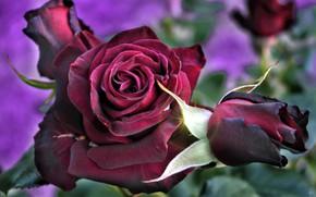 Picture macro, rose, Bud, Burgundy