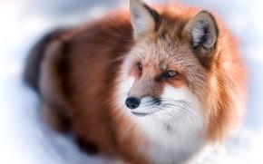 Wallpaper winter, Fox, light, Fox, fur