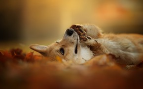Picture autumn, nature, each, dog, Welsh Corgi