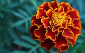 Picture Macro, Flower, Marigolds