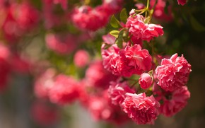 Picture flowers, background, Bush, roses, garden, red, pink, buds, a lot, bokeh, roses, rosary