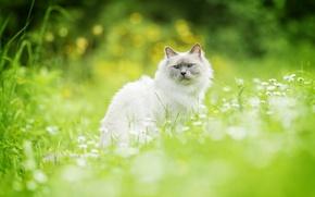 Picture cat, grass, cat, bokeh