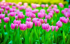 Picture field, flowers, petals, blur, Tulips, pink