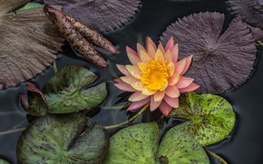 Picture leaves, pond, water Lily