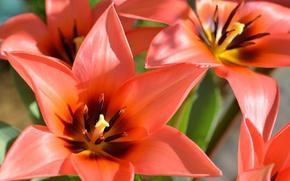 Picture macro, petals, tulips