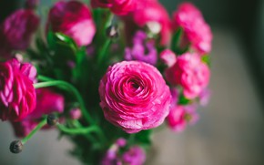 Picture flowers, bouquet, pink, buttercups, Ranunculus, Asian Buttercup