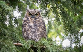 Wallpaper nature, bird, spruce, owl