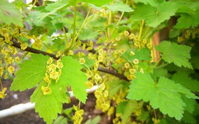 Picture leaves, Bush, flowering, red currant, Mamala ©