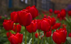 Wallpaper tulips, buds, red tulips
