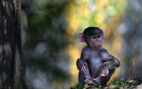 Picture nature, monkey, There