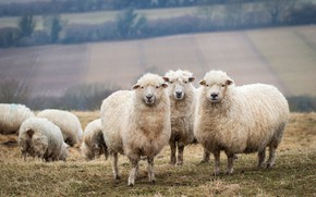 Picture field, background, field, sheep, sheep, trio, the herd, lambs, sheep, livestock