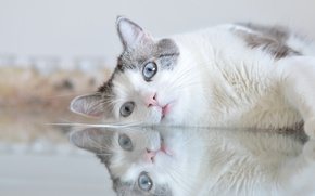 Picture cat, look, reflection, blue eyes