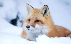 Wallpaper look, Fox, snow, red, face