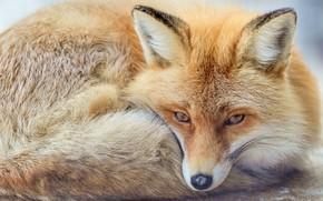 Wallpaper face, red, Fox, ears, look